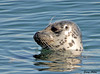 """<div class=""""jaDesc""""> <h4> Pacific Harbor Seal Looking Around- November 3, 2009 </h4> <p>There were lots of these Harbor Seals swimming in Monterey Bay, California on a sunny afternoon.  This one poked its head above the water and was looking around to see where the other seals were.</p> </div>"""