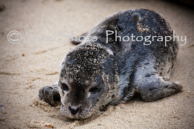 NEWBORN SEAL AT LA JOLLA,CA