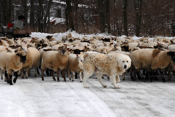"""<div class=""""jaDesc""""> <h4> Maremma Guard Dog with Sheep - Amherst Island - February 8, 2011</h4> <p>  To move 250 sheep between pastures, a sheep herder drives them forward with a four wheeler. This Maremma guarding dog assists during the move by guarding on one side of the sheep flock. There are 16 guarding dogs on the farm to protect almost 2000 sheep; some are the Maremma breed from Italy and others are the Akbash breed from Turkey. Both breeds have been used for centuries to guard sheep.</p> </div>"""