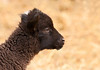 "<div class=""jaDesc""> <h4> Black Finnsheep Lamb Looking for Mama - June 7, 2011</h4> <p>  This month old black Finnsheep lamb was looking around to find his mother. He was very friendly, coming over to me to nibble on my boots and rub against my leg.</p> </div>"
