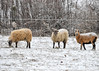 "<div class=""jaDesc""> <h4> Ewes Grazing in Snowy Pasture - December 30, 2017</h4> <p>Here are 3 of the 6 Ewes that were grazing in a pasture across the road from the Susquehanna River near Lounsberry, NY.</p> </div>"