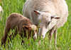 "<div class=""jaDesc""> <h4> Mama Finnsheep Teaching Her Lamb to Graze - June 7, 2011</h4> <p>  This is mama Finnsheep Lilah Rose teaching her month old brown ewe lamb how to graze. They are part of the Stillmeadow Finnsheep flock started in 1994 that contains a full range of natural colors (white, black, grey and brown) with solid, spotted, and badgerface patterns.</p> </div>"