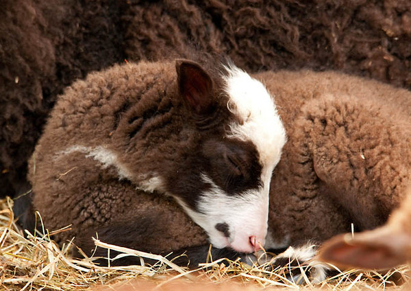 """<div class=""""jaDesc""""> <h4> Brown & White Finnsheep Lamb Napping - June 7, 2011</h4> <p>  This month old brown & white Finnsheep lamb named Dahlia was taking a nap curled up next to her mom. Her eye would open once in awhile to look around, but then slowly close as she dozed very contentedly.</p> </div>"""