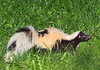 """<div class=""""jaDesc""""> <h4> Skunk in Backyard - June 23, 2010</h4> <p>This colorful skunk was looking for leftover bird seed in the high grass.</p> </div>"""