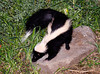 "<div class=""jaDesc""> <h4>Young Skunk - Other Side - September 2006</h4> <p>Here is a shot of this young Skunk's other side.</p> </div>"