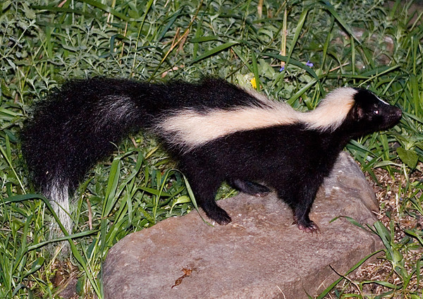 """<div class=""""jaDesc""""> <h4>Young Skunk - Top View - September 2006</h4> <p>Here I was dangerously looking right down on top of this young Skunk.</p> </div>"""