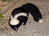 "<div class=""jaDesc""> <h4> Skunk Visits Front Yard - July 10, 2009</h4> <p>I had been seeing signs of a Skunk digging in our front yard for several days.  Then several nights ago when I went to close our front door, this Skunk was nibbling up all the sunflower seeds that had fallen on the ground.  We have to make sure our dog does not go out off lease after dark.</p> </div>"