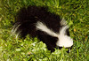 "<div class=""jaDesc""> <h4>Young Skunk Visiting - September 2006</h4> <p>We had a total of 5 Skunks visit our backyard over the summer. Each one had different markings so I could tell them apart. This was the youngest of the bunch. I stuck my lens out through a crack in the door to take this shot of it 3 feet away. It was focused on finding bird seed and ignored me.</p> </div>"
