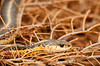 """<div class=""""jaDesc""""> <h4> Garter Snake Enjoying Afternoon Sun - May 22, 2012 </h4> <p> This 2 foot long Garter Snake roams our backyard. I was weeding near our water garden pond when I noticed him basking in the sun on top of a dead evergreen shrub. He never moved even when I got very close.</p> </div>"""