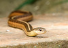 """<div class=""""jaDesc""""> <h4> Garter Snake Resting - August 1, 2008 </h4> <p>This is a favorite resting spot for one of the young Garter Snakes.  This shot was taken from 10 feet away on the other side of our water garden pool.</p> </div>"""