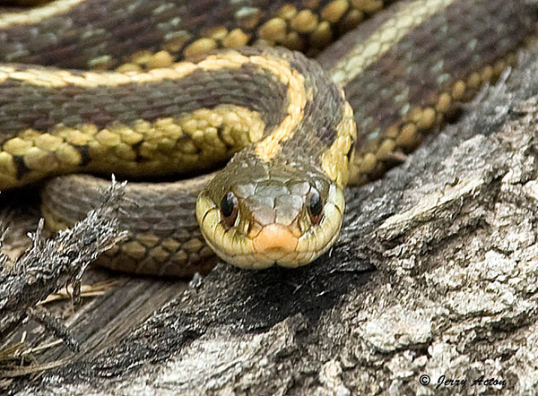 """<div class=""""jaDesc""""> <h4> Garter Snake - Face to Face - July 3, 2009 </h4> <p>This Garter Snake was sunning on a log.  He did not seem to mind me getting in close to his face.</p> </div>"""
