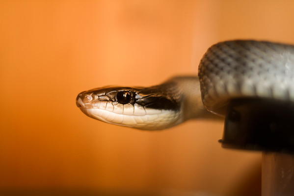 Vietnamese Blue Beauty Rat Snake