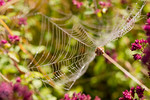 Garden Spider in Web and Wild Marjoram (oregano)