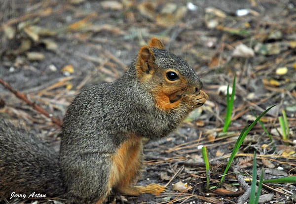 """<div class=""""jaDesc""""> <h4> Fox Squirrel Collecting Peanut - November 5, 2009 - Video Attached </h4> <p> It was interesting to watch this Fox Squirrel collect an un-shelled peanut and bury it in my daughter's backyard.  I'm sure he will remember where that one is stashed.</p> </div> <center> <a href=""""http://www.youtube.com/watch?v=4t8T5HY9KEg""""  style=""""color: #0000FF"""" class=""""lightbox""""><strong> Play Video</strong></a>"""