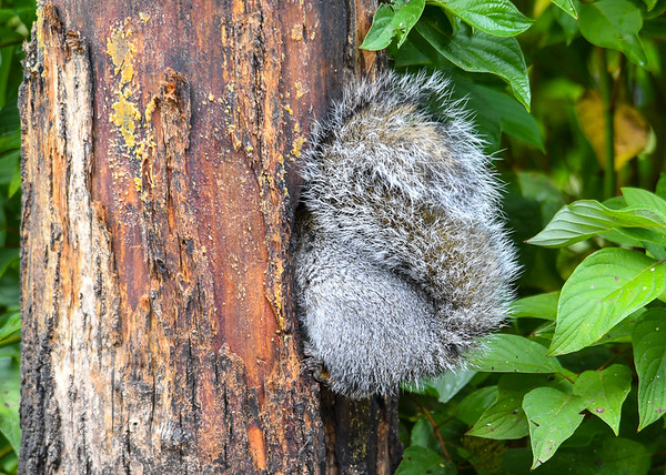 """<div class=""""jaDesc""""> <h4> Gray Squirrel in Suet Log Hole - October 15, 2016</h4> <p>I have been putting hickory nuts in this hole.  This Gray Squirrel carries them away and stashes them.</p> </div>"""