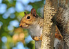 """<div class=""""jaDesc""""> <h4> Gray Squirrel Collecting Acorns - September 21, 2010 </h4> <p>This Gray Squirrel was busy knocking acorns out of a tall oak tree. He took a break to check out my presence at the bottom of """"His"""" tree.</p> </div>"""