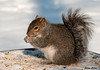"""<div class=""""jaDesc""""> <h4> Gray Squirrel Eating Bird Seed - January 14, 2010 </h4> <p>Someone had tossed bird seed onto a picnic table in a park.  This Gray Squirrel let me get very close as he busily feasted on the seed.</p> </div>"""