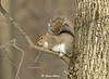 """<div class=""""jaDesc""""> <h4> Gray Squirrel Resting - January 26, 2009 </h4> <p>One of four Gray Squirrels, foraging in a wooded back yard, climbed this large tree several times during the hour I was watching.  The little branch about 25 feet up must be one of his favorite resting spots.</p> </div>"""