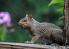 "<div class=""jaDesc""> <h4> Gray Squirrel Looking for Seed - August 10, 2016</h4> <p> This Gray Squirrel was searching the feeder platform for bird seed.  </p> </div>"