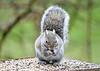 "<div class=""jaDesc""> <h4> Gray Squirrel Munching Sunflower Seed - April 2, 2020</h4> <p></p> </div>"