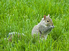 """<div class=""""jaDesc""""> <h4> Gray Squirrel Snacking - May 26, 2009 </h4> <p>This guy came running out from under a bush straight at me and our dog Coby as we started to put bird seed out.  He made a quick turn when he realized we were there.  This photo was taken later when the dog was inside.</p> </div>"""
