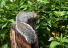 "<div class=""jaDesc""> <h4> Gray Squirrel on Suet Log - October 15, 2016</h4> <p> This Gray Squirrel has a nice fluffy well groomed tail.  When he is around, he owns the bird feeder table.</p> </div>"