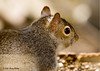 """<div class=""""jaDesc""""> <h4>Gray Squirrel Close-up - April 1, 2008 </h4> <p>This Gray Squirrel seemed uninterested in how close I was - eating was the most important thing in the moment.</p> </div>"""