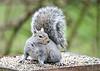 "<div class=""jaDesc""> <h4> Gray Squirrel Ready to Scramble - April 2, 2020</h4> <p></p> </div>"