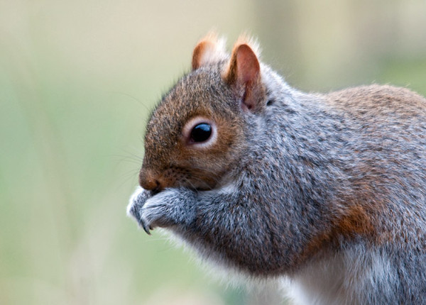 """<div class=""""jaDesc""""> <h4> Gray Squirrel Eating Sunflower Seeds - December 30, 2011 </h4> <p> No bird feeder area is complete without the resident Gray Squirrel. At our place, he is welcome to his fair share. Once in awhile he brings his girl friend too.</p> </div>"""