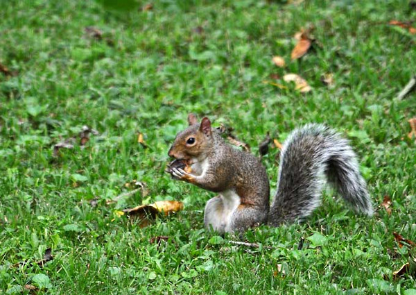 """<div class=""""jaDesc""""> <h4> Gray Squirrel Collecting Hickory Nuts - September 16, 2011 </h4> <p>This Gray Squirrel is gathering up the hickory nuts he knocked down from high up in the tree.</p> </div>"""
