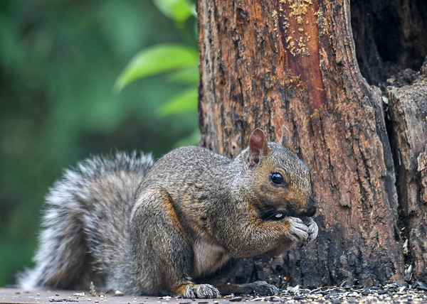 """<div class=""""jaDesc""""> <h4> Gray Squirrel Munching Bird Seed - August 10, 2016</h4> <p> With these guys around, there is never anything left over at the end of the day.</p> </div>"""