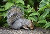 "<div class=""jaDesc""> <h4> Gray Squirrel Sampling Bird Seed - October 15, 2016</h4> <p> There are 5 kinds of seed on this platform.  The Gray Squirrel prefers the sunflower seeds.</p> </div>"