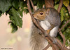 """<div class=""""jaDesc""""> <h4>Gray Squirrel Asking Permission - October 25, 2007 </h4> <p>Actually she only looks like she is asking permission.  The reality is she has the run of the place.  Since we only have one so far, she gets away with whatever she wants.  Since it is quite a long trek from our backyard to the woods, she only makes a few stops per day.</p> </div>"""