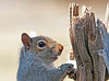 """<div class=""""jaDesc""""> <h4> Squirrel Swiping Seed - March 27, 2010 - Video Attached </h4> <p>I put sunflower seeds and shelled peanuts in a dried sunflower seedpod for the Chickadees.  This squirrel has found them and is shamelessly  helping himself.</p> </div> <center> <a href=""""http://www.youtube.com/watch?v=xTMiQE5cv4g""""  style=""""color: #0000FF"""" class=""""lightbox""""><strong> Play Video</strong></a>"""