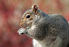 """<div class=""""jaDesc""""> <h4> Gray Squirrel Close-up - April 15, 2011 </h4> <p>We have 3 Gray Squirrels that are regulars now, so the birds have to share their sunflower seeds. This guy ate at least 50 seeds during this visit.</p> </div>"""