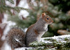 """<div class=""""jaDesc""""> <h4> Gray Squirrel in Snow - March 14, 2011 </h4> <p>A snow storm does not slow down a Gray Squirrel when he has his mind on eating sunflower seeds as fast as he can. This guy chows down between outings for our dog who likes to chase him through the backyard fence.</p> </div>"""