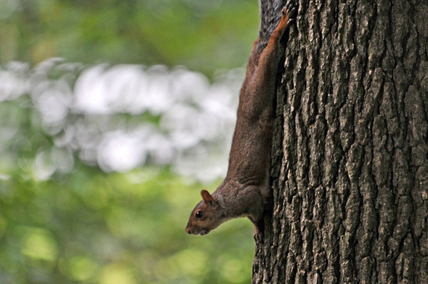 """<div class=""""jaDesc""""> <h4> Gray Squirrel Coming Down Hickory Tree - September 16, 2011 </h4> <p>The Gray Squirrels are climbing up into 100 foot hickory trees and knocking down the hickory nuts. Then they race down the tree trunk to collect and store them in their stashes.</p> </div>"""