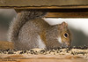 """<div class=""""jaDesc""""> <h4>Gray Squirrel Feasting - March 13, 2008 </h4> <p>We are in trouble now. We've been here for 8 years and have only ever had one Gray Squirrel visit us at a time.  Today, this one brought a friend to feast on sunflower seeds.</p> </div>"""