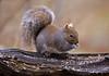 "<div class=""jaDesc""> <h4>Gray Squirrel with White Ear Markings #2 - November 11, 2008 </h4> <p></p> </div>"