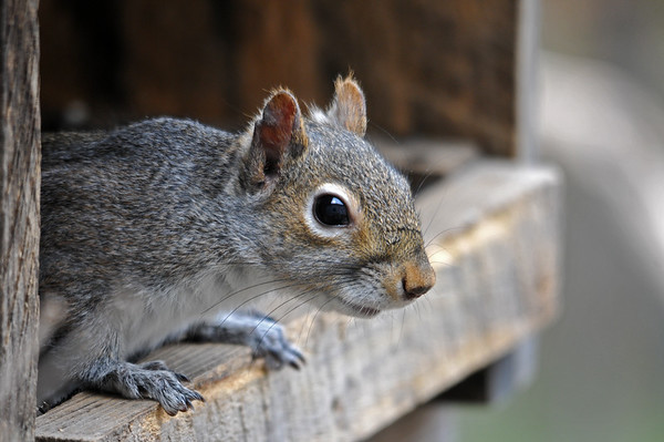 "<div class=""jaDesc""> <h4> Gray Squirrel in Feeder Box - May 1, 2015 </h4> <p> Two Gray Squirrels are now venturing into our yard again.  They were not around all winter.</p> </div>"