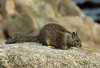 "<div class=""jaDesc""> <h4> Ground Squirrel Looking for Handouts - November 5, 2009</h4> <p>This cute little Ground Squirrel was living in the rocks along the shore line of Monterey Bay, CA.  He competes with the gulls for droppings and handouts from the visitors.   The first peanut I tossed to him got snatched by a gull.  He was quick enough to get the second one.</p> </div>"