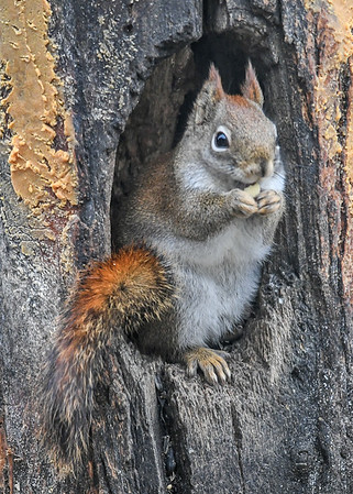"<div class=""jaDesc""> <h4>Red Squirrel Nibbling Peanut - January 7, 2019</h4> <p></p>  </div>"
