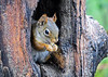 "<div class=""jaDesc""> <h4>Red Squirrel Munching Peanut - May 16, 2018</h4> <p></p>  </div>"