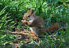 """<div class=""""jaDesc""""> <h4> Red Squirrel Ground Feeding - April 16, 2010 - Video Attached</h4> <p>  Our visiting Red Squirrel is now a daily regular. He is much faster than the Gray Squirrel, more like Chipmunk speed. He really enjoys the shelled peanuts I put out every morning.</p> </div> <center> <a href=""""http://www.youtube.com/watch?v=GwWEZimoc0Y""""  style=""""color: #0000FF"""" class=""""lightbox""""><strong> Play Video</strong></a>"""