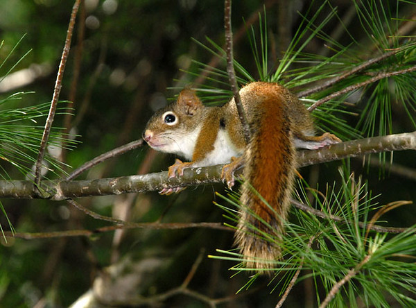 """<div class=""""jaDesc""""> <h4> Baby Red Squirrel Playing in Pine Tree - May 23, 2010 </h4> <p> While on dog walk the other morning, Coby alerted on a noise in a large white pine tree by the road. There were 4 baby Red Squirrels racing around through the branches.  When I moved down underneath the tree, 3 of them ran off. This guy stayed to watch me even though Coby was milling around the base of the tree.</p> </div>"""