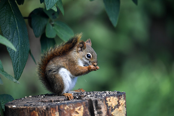 """<div class=""""jaDesc""""> <h4>Red Squirrel Eating Seed - Side View  - July 17, 2016</h4> <p>One of our Red Squirrel pair was enjoying the seed I sprinkle on top of the suet log.  This goes on almost all day long.</p>  </div>"""