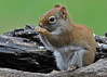 """<div class=""""jaDesc""""> <h4> Female Red Squirrel Gobbling Seed - April 24, 2014 - Video Attached</h4> <p> So how many seconds does it take for a Red Squirrel to eat a seed?  This gal is a real speed eater!  She scoops up 2 and 3 at a time.</p>  </div> <center> <a href=""""http://www.youtube.com/watch?v=VuMcSFWPvSM""""  style=""""color: #0000FF"""" class=""""lightbox""""><strong> Play Video</strong></a>"""