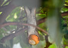 """<div class=""""jaDesc""""> <h4>Acrobatic Red Squirrel Eating Orange - July 24, 2016</h4> <p>This immature Red Squirrel claimed one of the orange halves for himself.  He grabbed it with his teeth, leaped 4 feet to the viburnum bush, then hung upside down on a branch to eat the flesh.  He hung there for about 5 minutes till he was done and finally dropped it.</p>  </div>"""