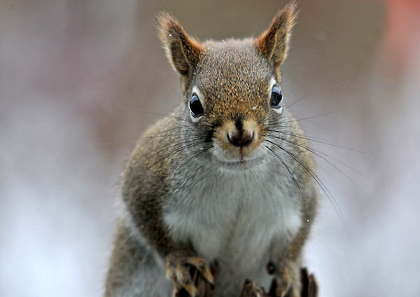 """<div class=""""jaDesc""""> <h4> Red Squirrel Says: """"What Do You Want?"""" - December 22, 2010 </h4> <p> Yesterday for the first time we had 2 Red Squirrels visiting. They are acting like they own the place. This one was quietly eating sunflower seeds but then spun around and glared at me.</p> </div>"""