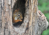 """<div class=""""jaDesc""""> <h4>Red Squirrel in Woodpecker Hole - June 10, 2014 - Video Attached </h4> <p>  I had not seen a Red Squirrel in our Woodpecker feeder hole before.  He seemed quite content feeding on the left-over sunflower seeds.</p> </div> <center> <a href=""""http://www.youtube.com/watch?v=u1NB34EhVdY"""" style=""""color: #0000FF"""" class=""""lightbox""""><strong> Play Video</strong></a> </center>"""